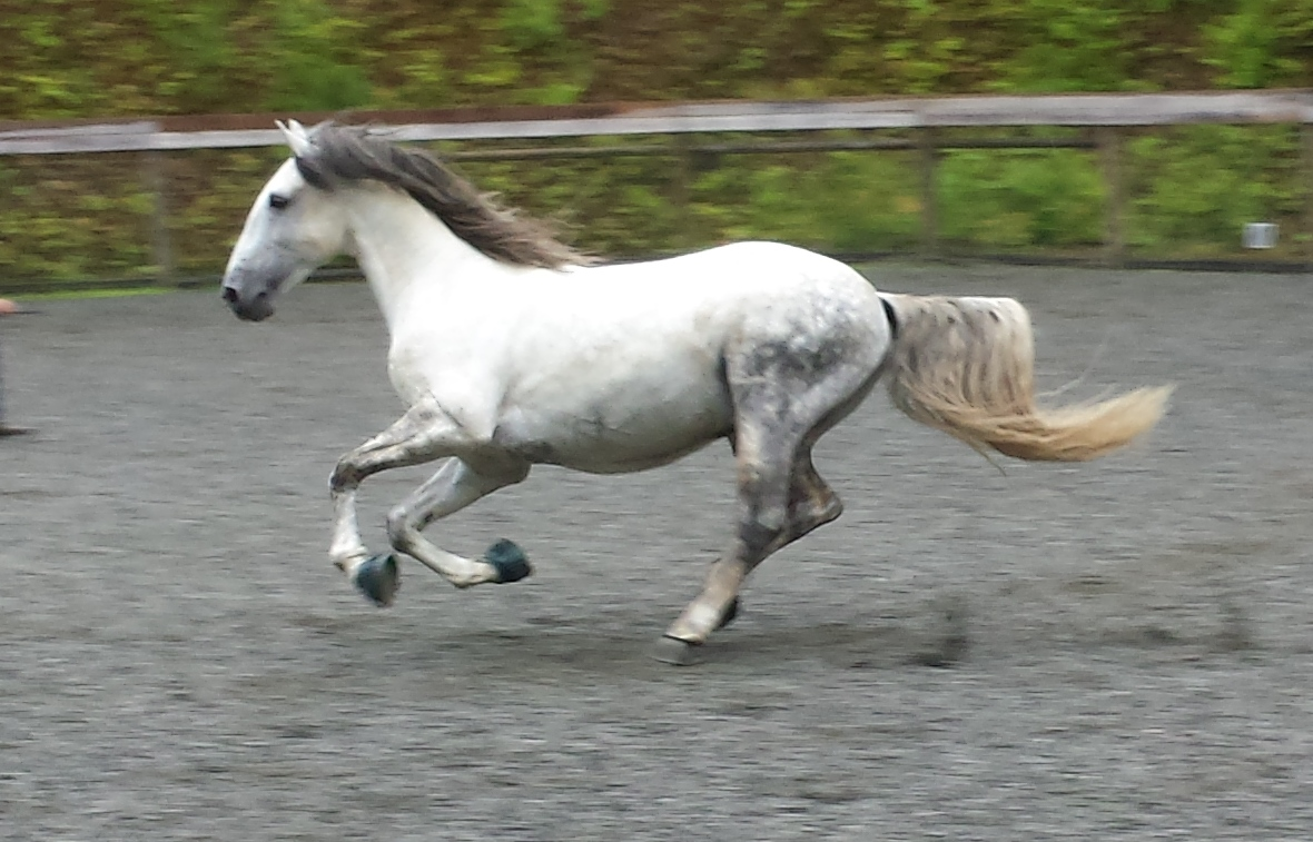 Cafe Das Arcas - Lusitano Stallion Imported from Portugal